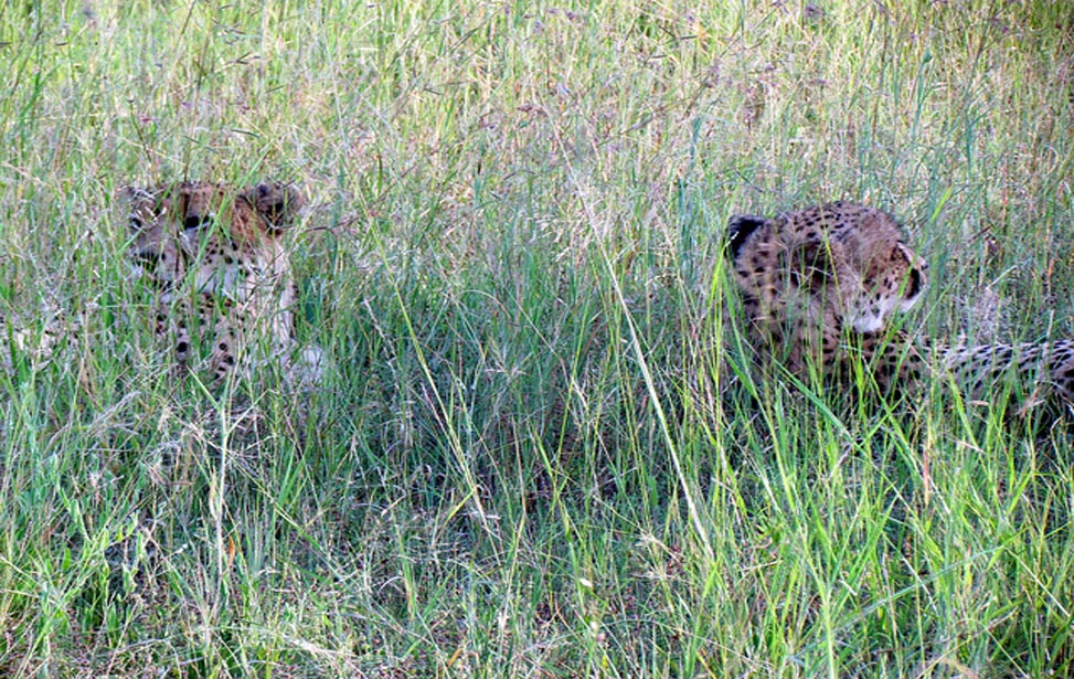 cheetahs in the grass in South Africa